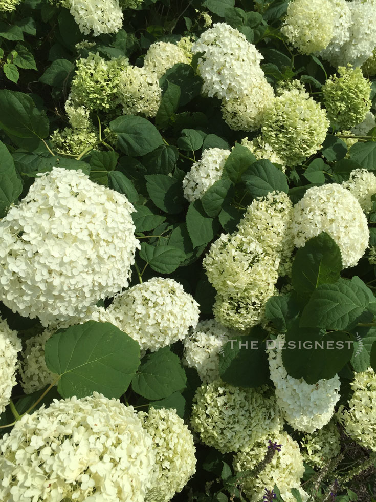 Pillows of #hydrangeas! Seriously love this gal in my yard. The Annabelle Hydrangea never disappoints ...