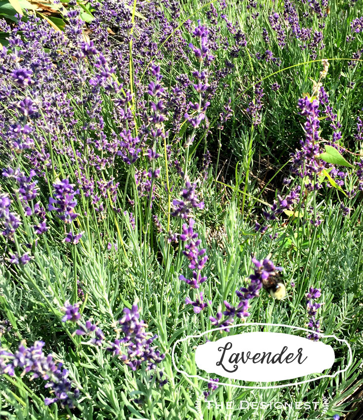 Lavender - The bees love it & so will you! Plant in a well draining sunny spot & it will self seed, and give you an abundance of blooms.