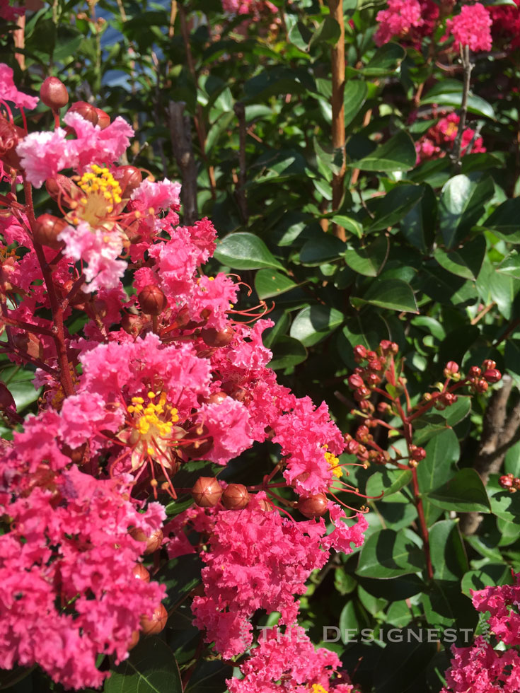 Another favorite plant to use in #midwest #landscape #CrepeMyrtle blooms are stunners